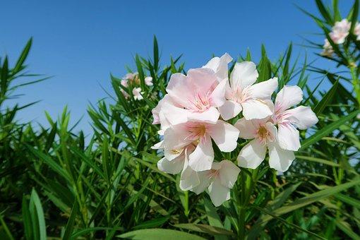 Oleander, White Oleander, White, Flower