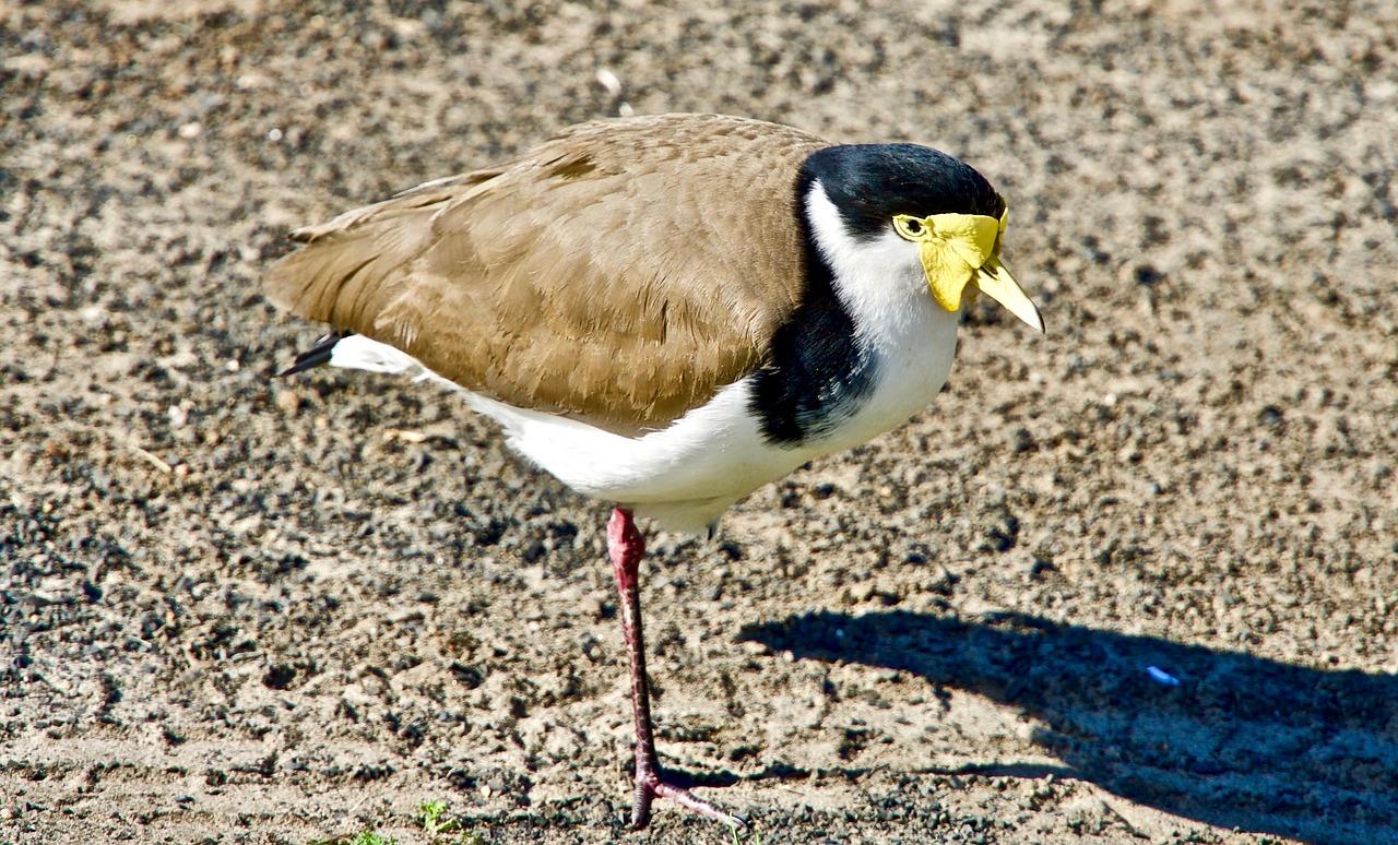 Plover Berkaki Satu Burung Foto Gratis Di Pixabay