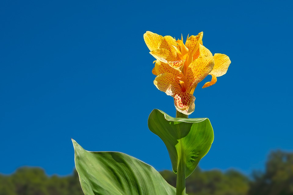 Canna flower yellow free photo on pixabay canna flower yellow leaf perennial tropical plant mightylinksfo