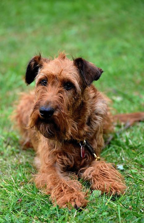 hond ierse terriër tuin - gratis foto op pixabay