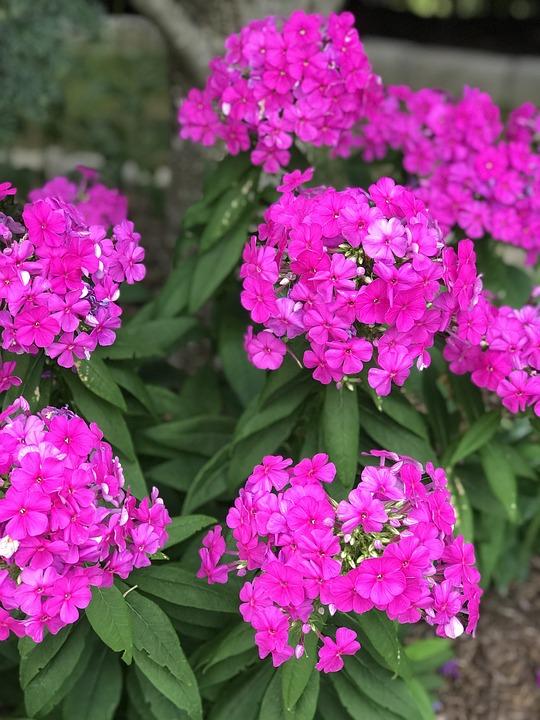 Ganz und zu Extrem Stauden Rosa Blumen - Kostenloses Foto auf Pixabay @ND_82