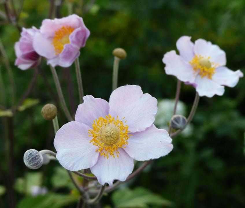 Anemone Flowers Flower Pink - Free photo on Pixabay