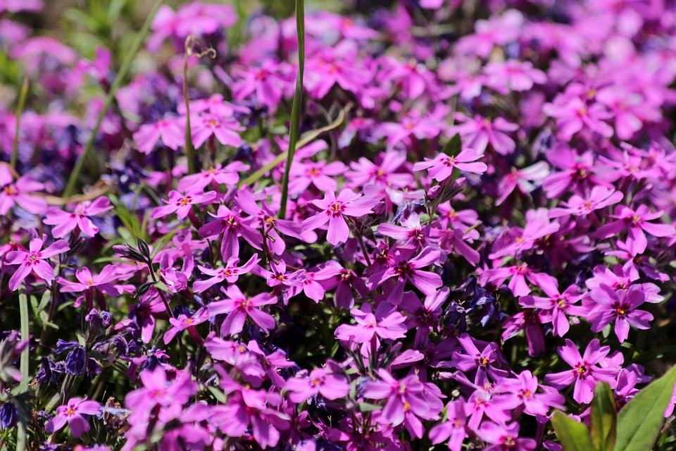 Campion plant flowers free photo on pixabay campion plant flowers bloom flower bed pink mightylinksfo