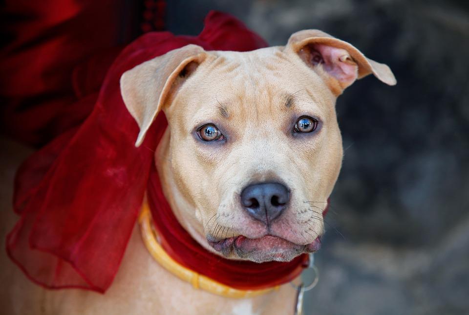 Dog, Dog Collar, Bows, Eyes, Head, Animal