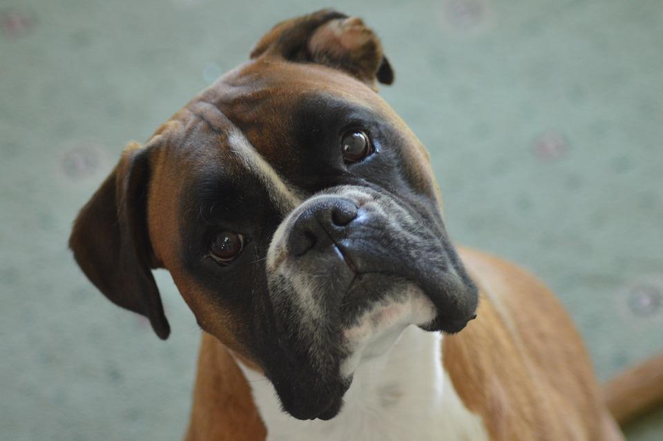 Boxer, Boxer Dog, Pet, Animal, Portrait, Cute
