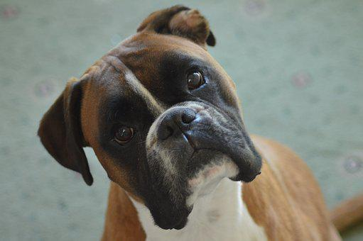 Boxer, Boxer Dog, Pet, Animal, Portrait