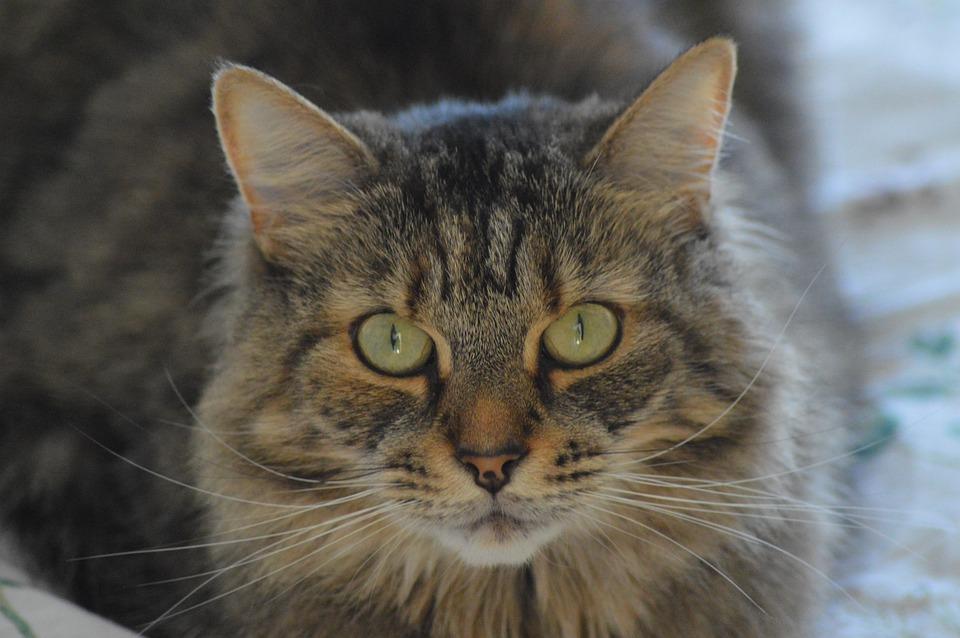 4283fc652876 Γάτα Τιγρέ Ζώο Κατοικίδιο - Δωρεάν φωτογραφία στο Pixabay