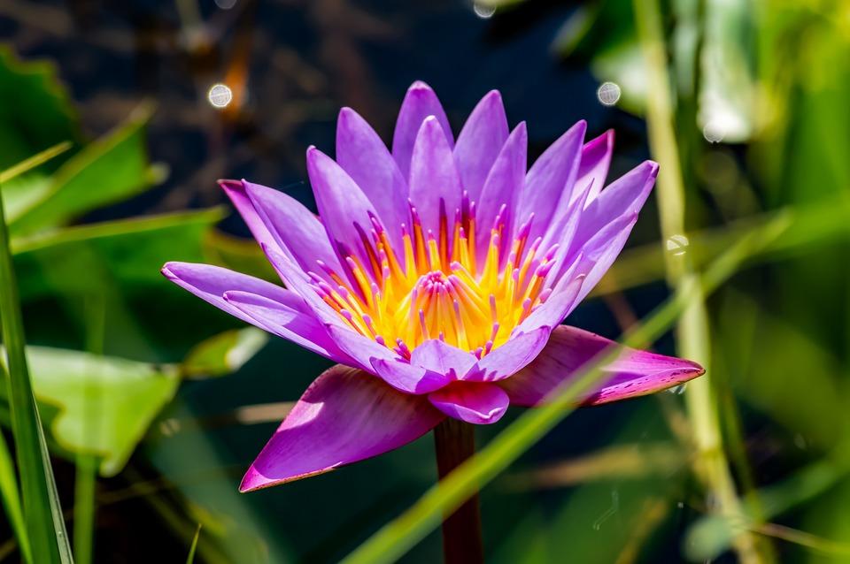 Fleurs De Lotus Fleur Photo Gratuite Sur Pixabay