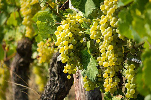 Vin, Vigne, Raisin, Rebstock, Raisins