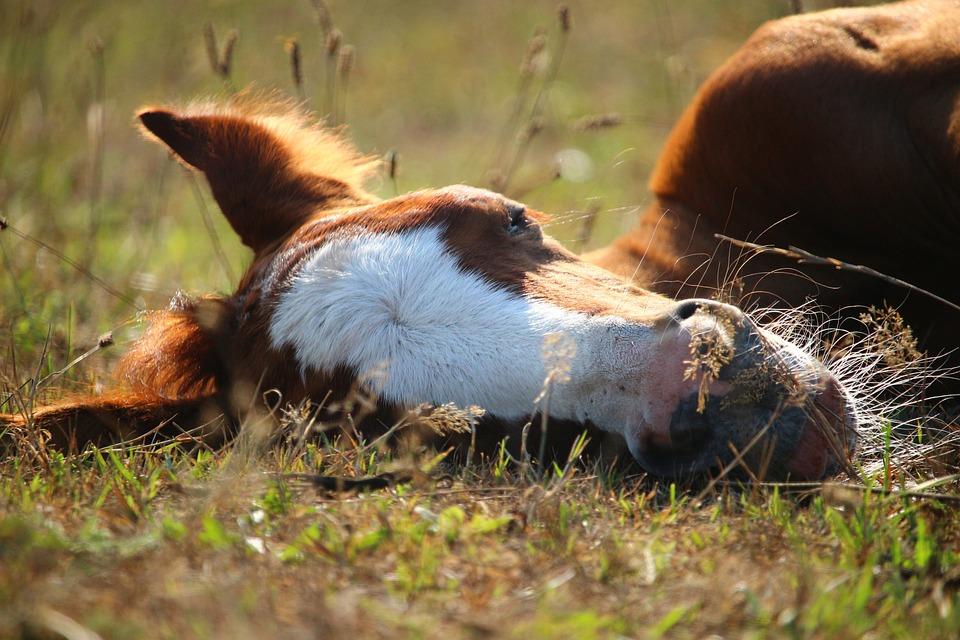 Foal, Horse, Thoroughbred Arabian, Suckling, Sleep
