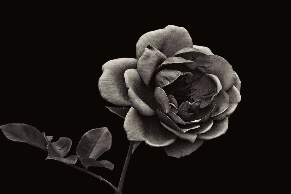 sort rose blomst