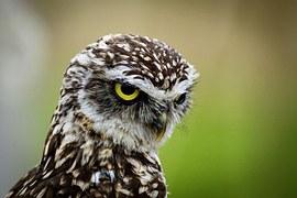 Burrowing, Owl, Little Owl, Bird