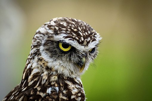 Burrowing, Owl, Little Owl, Bird, Animal