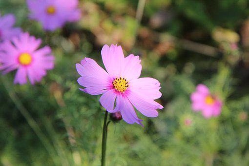 Cosmos flower images pixabay download free pictures cosmos cosmos flower flowers mightylinksfo
