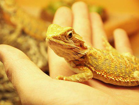 Reptile, Bearded Dragon, Lizard, Animal