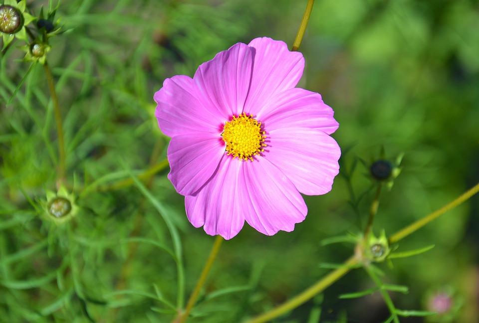 Flores Cosmea Verano Foto Gratis En Pixabay