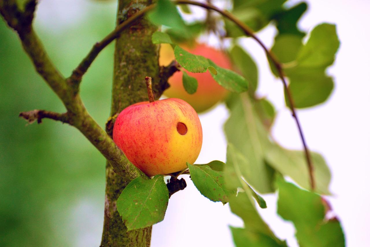 Яблоки червивые картинки