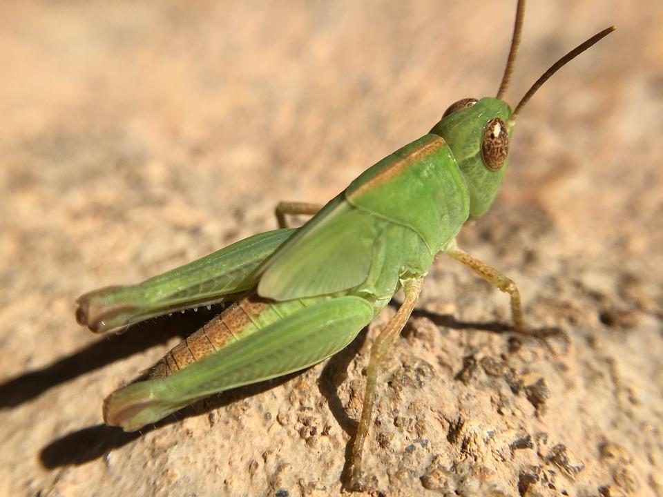Krekel natuur insect gratis foto op pixabay krekel natuur insect sprinkhaan groene de zomer altavistaventures Image collections