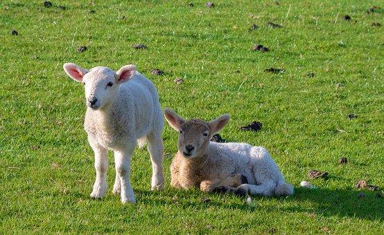 Lambs, Animals, Sheep, Cattle, Nature