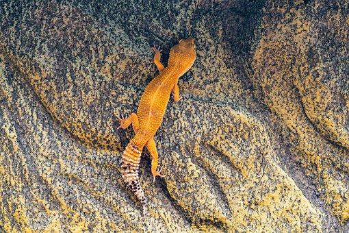 Gecko, Leopard Gecko, Climb, Wall