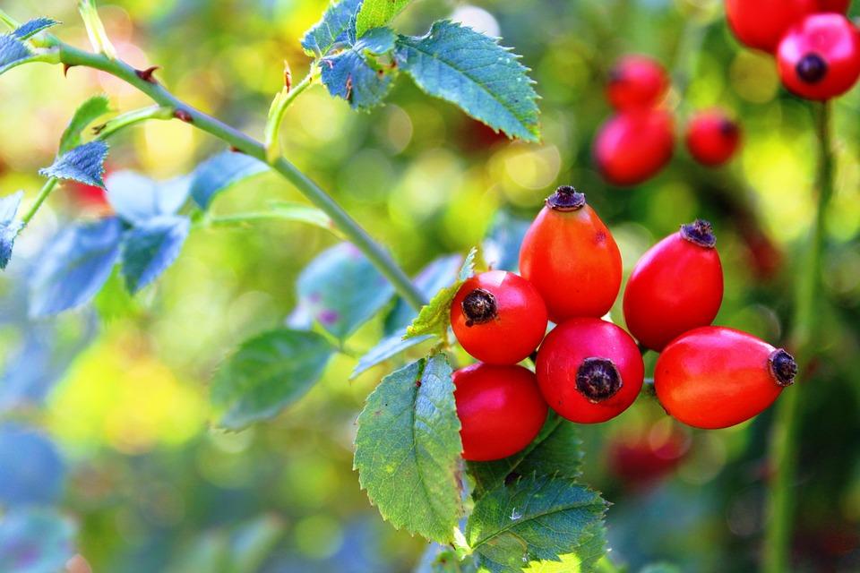 Rosa Canina, Rosso, Natura, Sammelfrucht, Sano