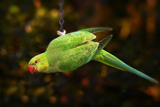 Ring Necked Parakeet, Parrot, Bird
