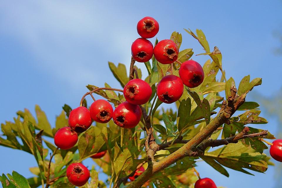 I Frutti Del Biancospino, Pianta, Cespuglio, Natura