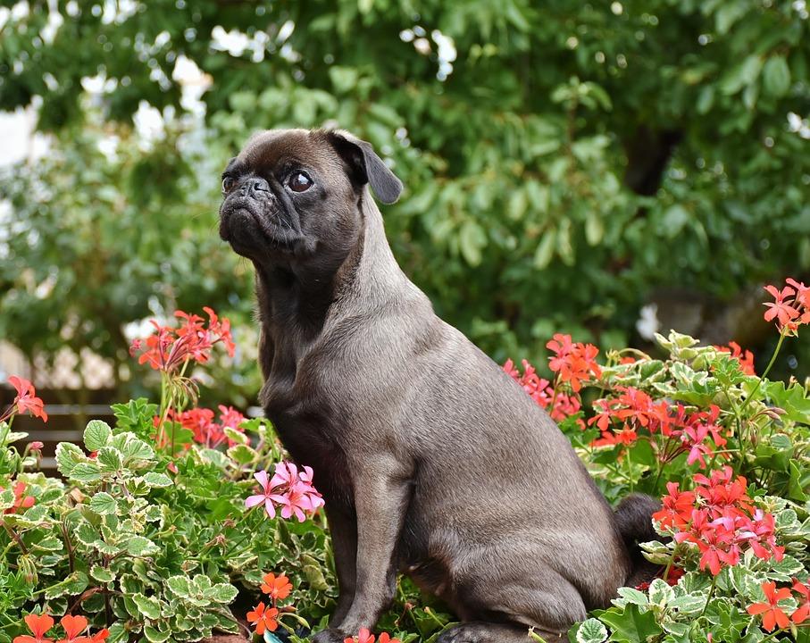 Pug, Dog, Small, Pet, Lap Dog, Purebred Dog, Cute