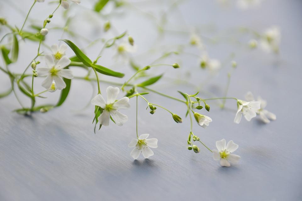Fiori, Gypsophila, Pianta, White, Luce Soffusa