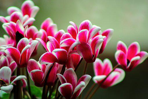 Flowers, Cyclamen, Bloom, Nature, Flower
