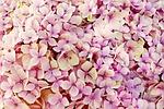 hortensja, kwiat, natura