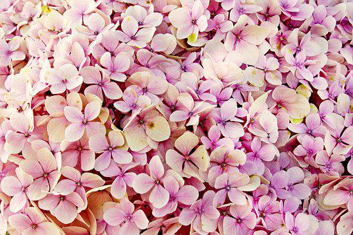 Hydrangea images pixabay download free pictures hydrangea flowers flower nature mightylinksfo
