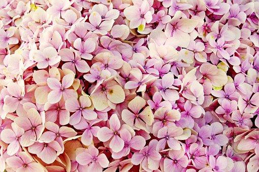 Hydrangea, Flowers, Flower, Nature
