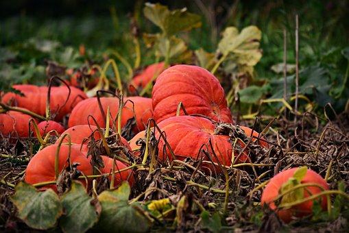Pumpkin, Vegetable, Food, Kitchen Garden