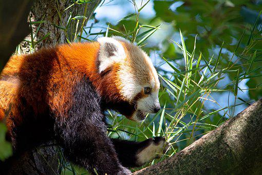 Red Panda, Panda, Bear Cat, Mammal