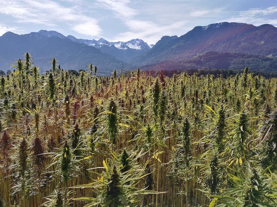 Konopie Polu, Roślin Konopi, Cannabis Sativa
