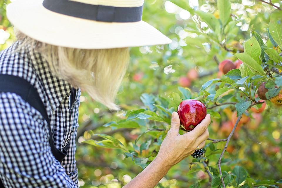 Picking Apple, Apple Picking, Woman, Fruit, Healthy