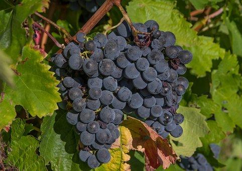 Raisins, Grappes, Vigne, Vendanges