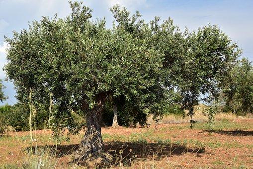 Olive Tree, Olive Field, Mediterranean