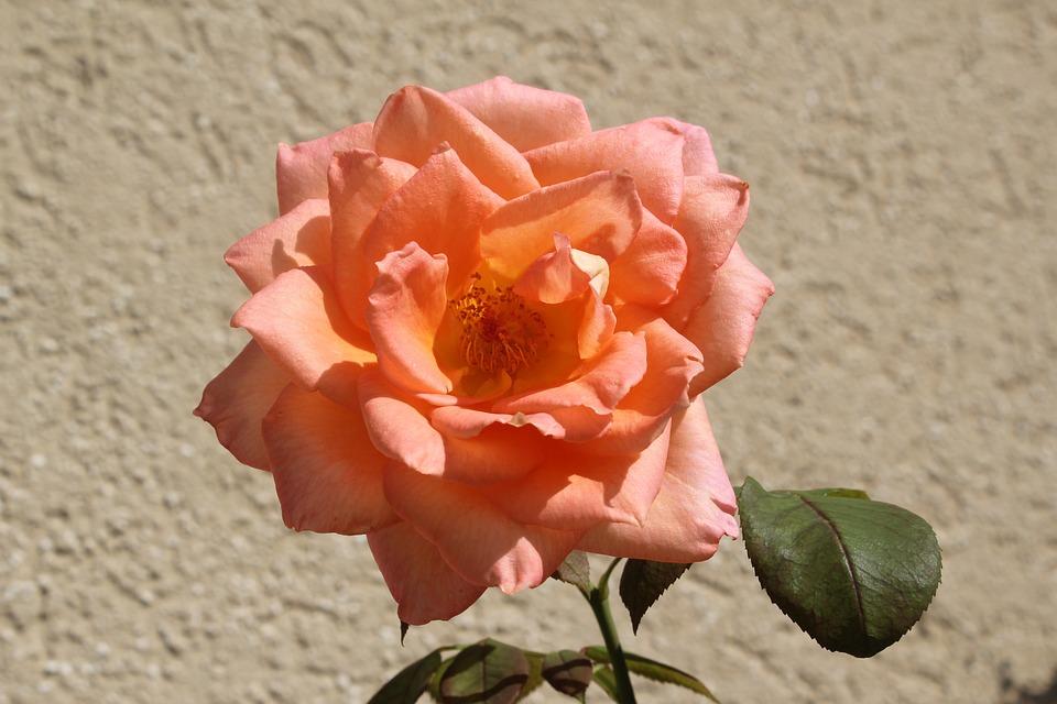 Rose Fiore Colore Rosa È · Foto gratis su Pixabay