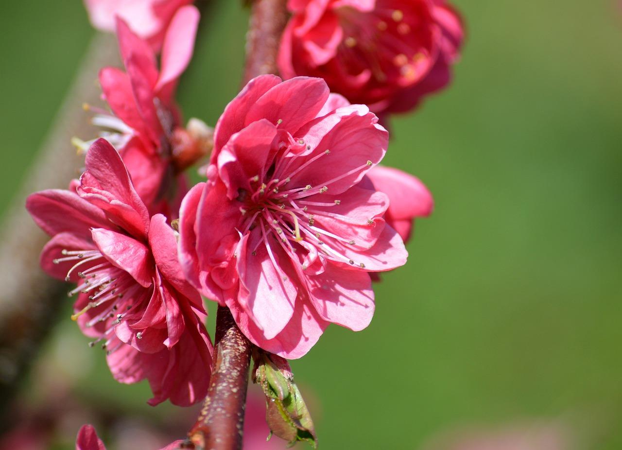 Персик цветет картинки