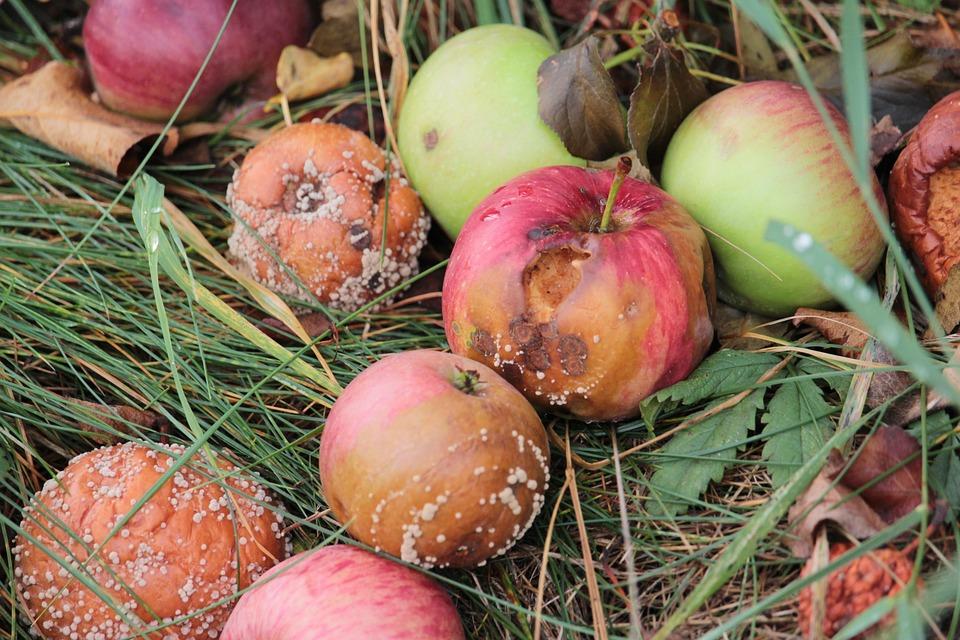 Táo Thúi Nấm Mốc Xấu Trái Cây Fall Cây Vườn