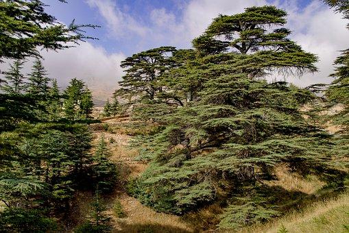 Baum, Zeder, Antike, Holz, Landschaft