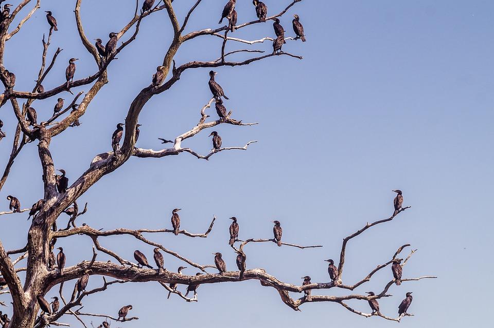 Kormoran, Baum, Wasservogelreservat, Natur, Vogel
