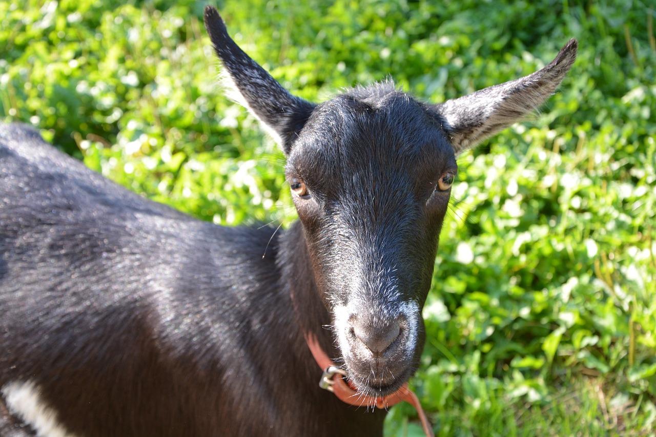 уши козы картинка словам отца