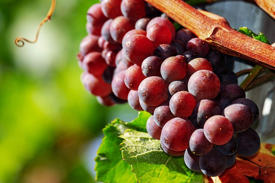 Grapes, Fruit, Red, Ripe, Cute, Wine Growing, Wine