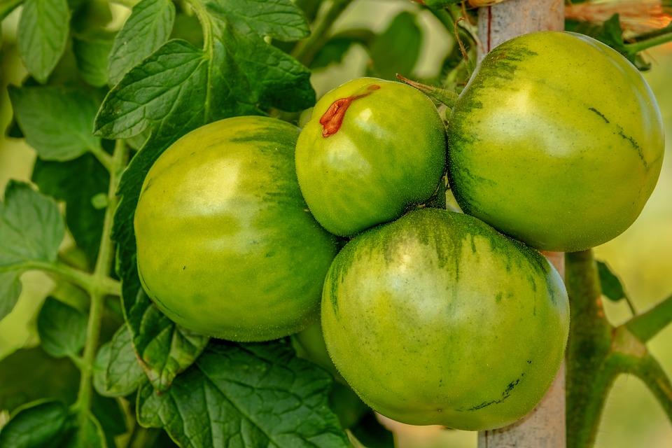Tomaten, Strauch, Gemüse, Nachtschattengewächs