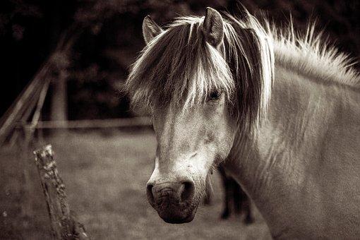 Fiord, Koń, Hucul, Zwierzęcy, Natura