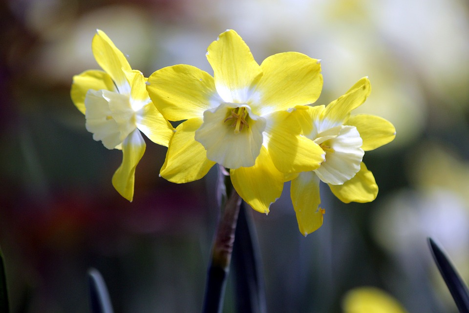 Narcise Flori Narcis Fotografie Gratuită Pe Pixabay