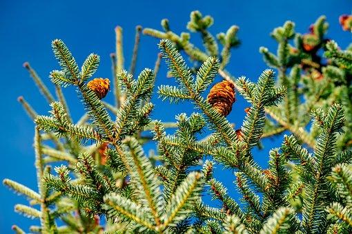 Fir Tree, Tree, Nature, Fir Needle